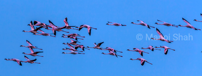 Flamingos in flight over Lake Natron