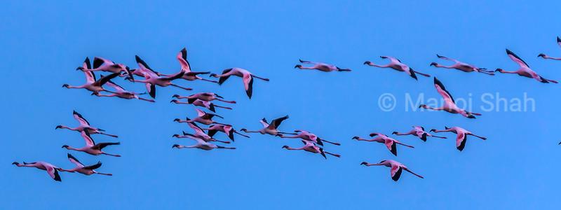 Flamingos in flight over Lake Natron