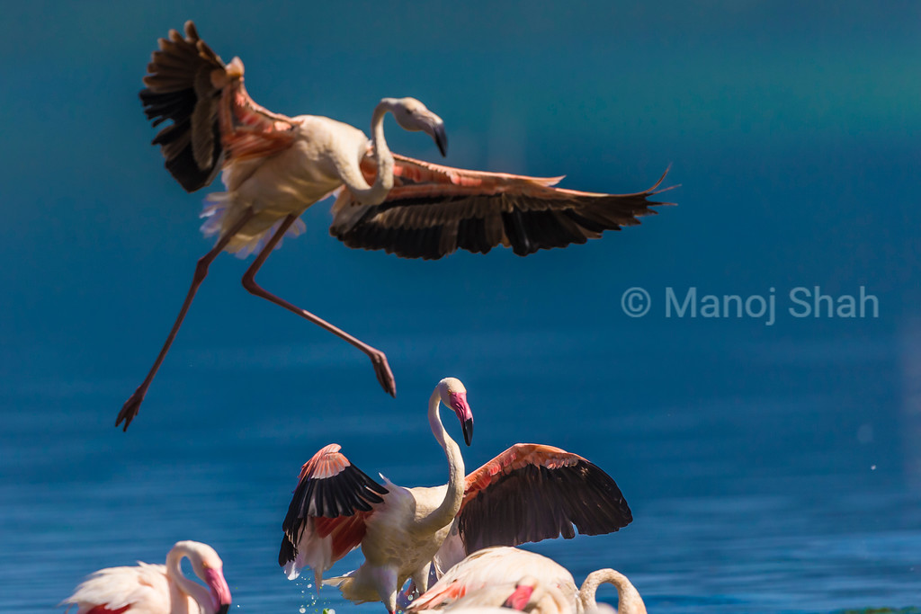 Greater Flamingo landing on Lake Nakuru water.