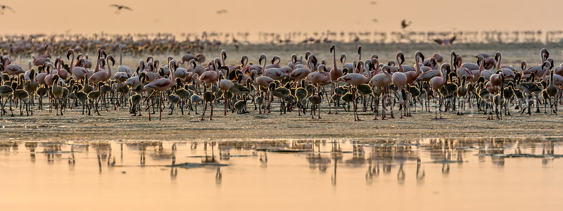 Flamingos with chicks on Lake Natron shore early morning.