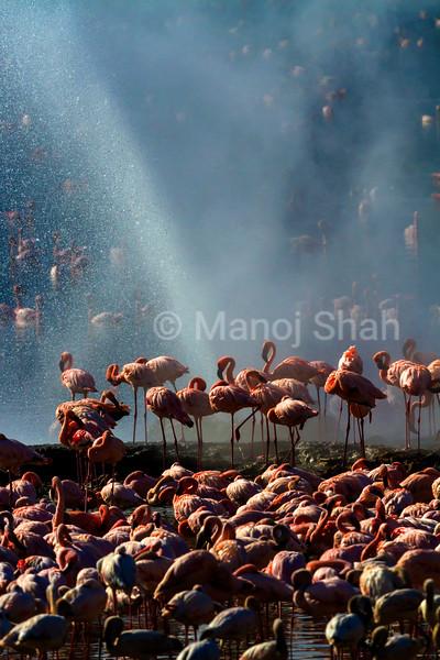 Flamingos around hot water springs