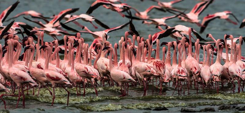 Lesser Flamingos moving in masse
