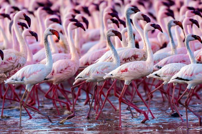 Lessser flamingos walking on Lake Bogoria shore
