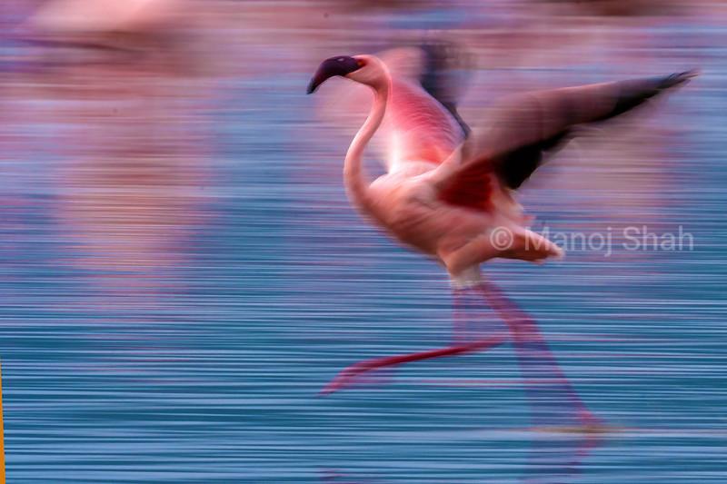 Flamingo running on Lake Nakuru water in lake Nakuru National Park, Kenya