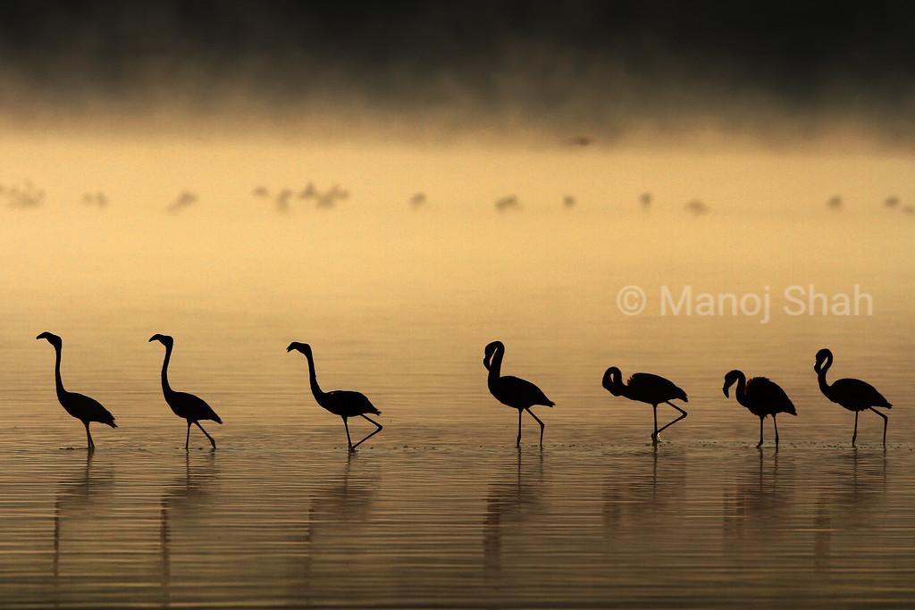 Lesser Flamingos walking at sunrise