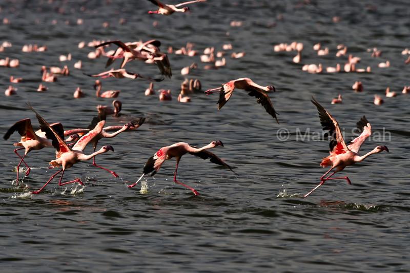 flamingos taking off