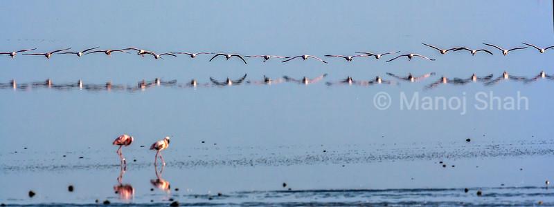 Flamingos flying in mass towards the shore at lake Natron, tanzania.