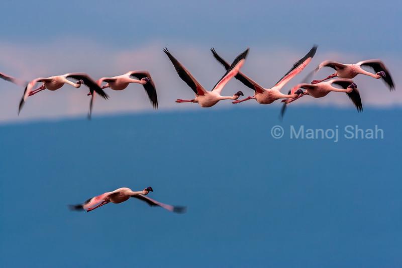 Flamingos flying in mass at lake nakuru, Kenya