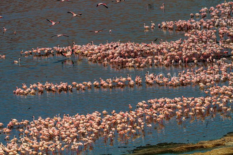 Aerial view o flamingo masses om Lake Bogoria shore.