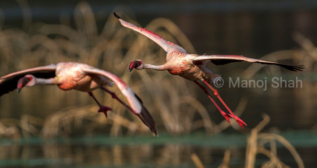 Lesser flamingo landing on lake bogoria shoreline.