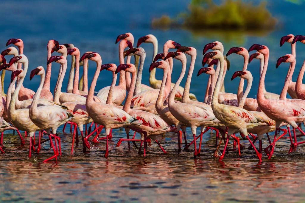 Flamingos marching in Lake Nakuru waters.