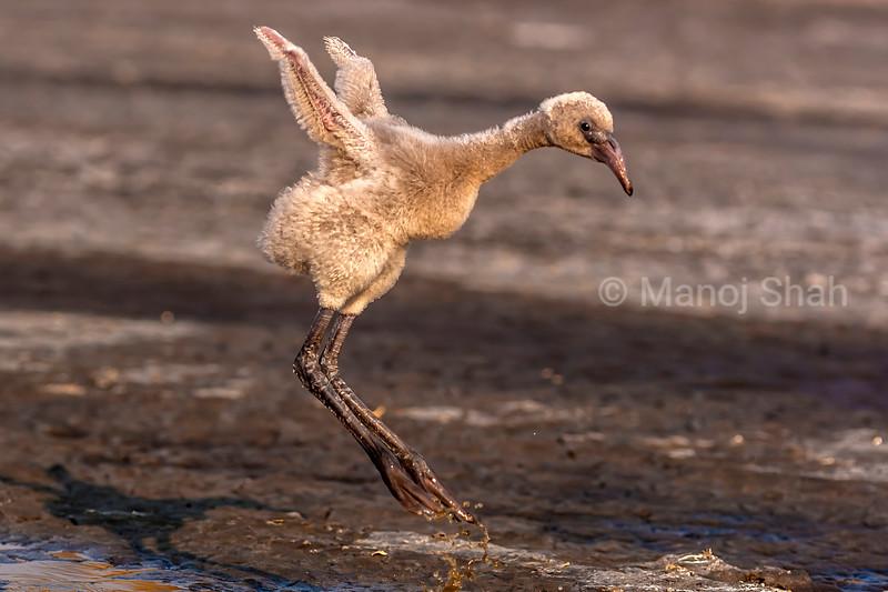 Flamingo chick jumping for joy at Lake Natron, Tanzania