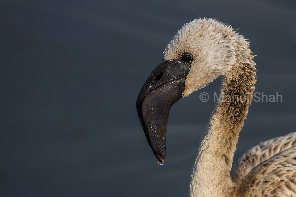 Lesser flamingo youngster (immature) close-up