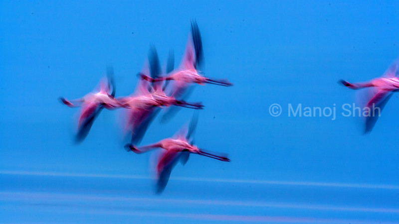 Flamingos flying over Lake Nakuru , Kenya