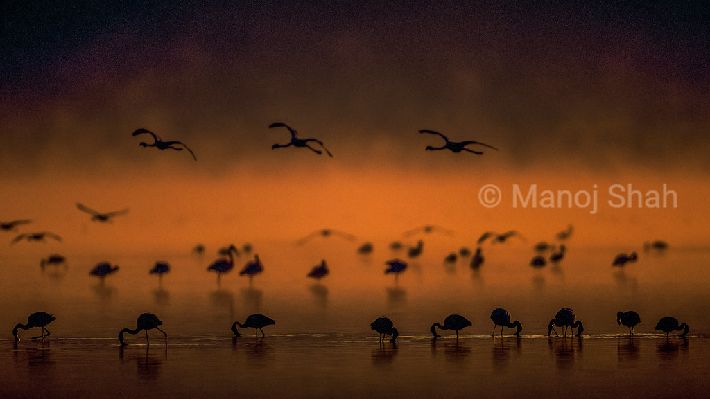 Lesser flamingos feeding at lake Nakuru shore, Kenya