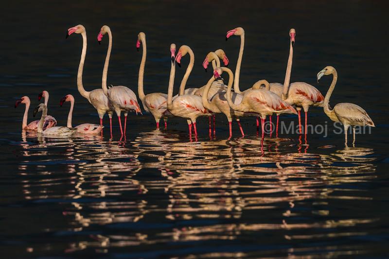 Lesser and Greater flamingos - Lake Nakuru Natonal Park, Kenya