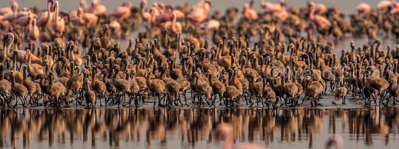 Lesser flamingo chicks in a mass gathering at Lake Natron, Tanzania