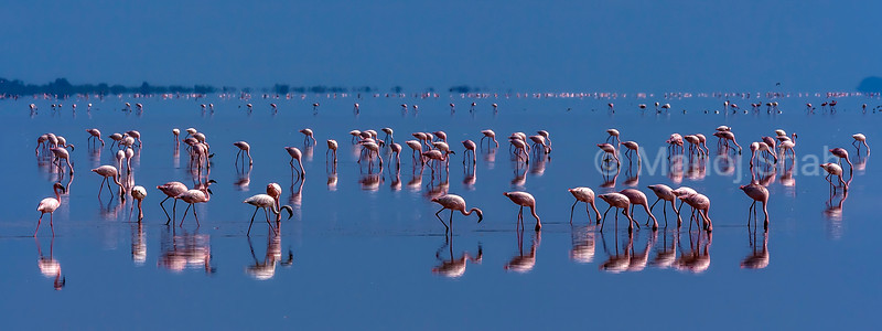 Lesser flamingos feeding in  Lake Natron early morning before sunrise.