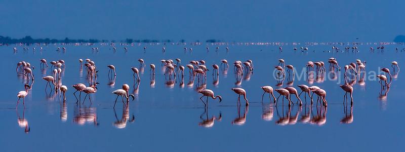 Lesser flamingos feeding in  Lake Natron early morning before sunrise.
