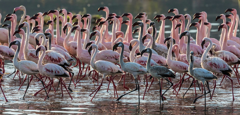 Lesser and Greater flamingos at Lake Bogoria