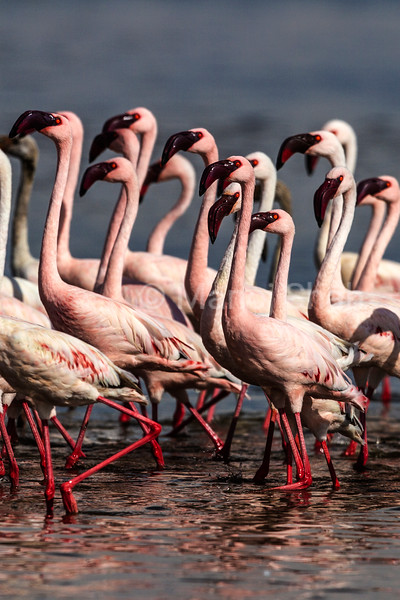 Greater flamingos moving in mass