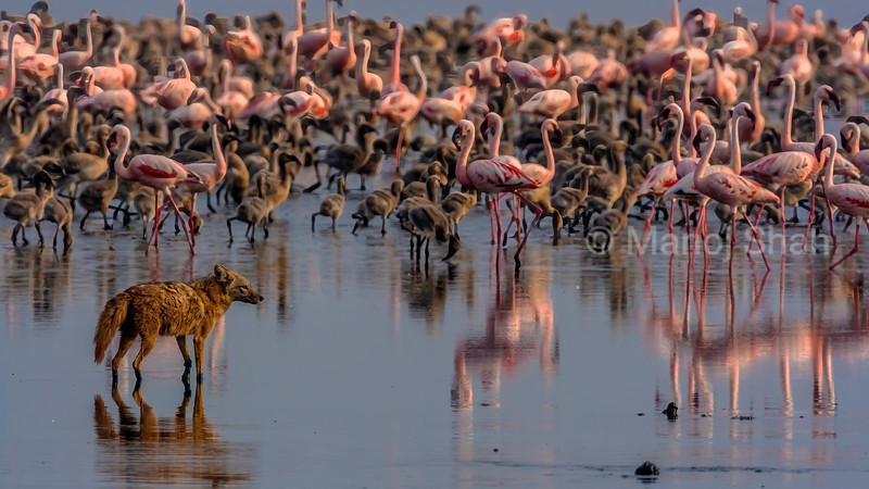 Golden Jackal viewing the flamingos at Lake Natron. If a weak flamingo is spotted, the Jackal would go for it.