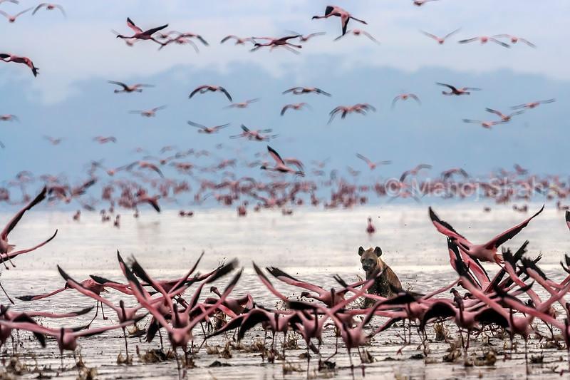 spotted Hyena going after a flock of flamingos in Lake Nakuru, Kenya.