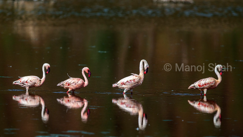 Lesser flamingos walking at lake Bogoria shoreline.