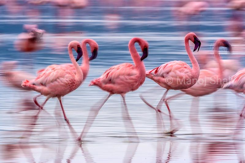 Greater flamingos moving rapidly in Lake Nakuru, Kenya.