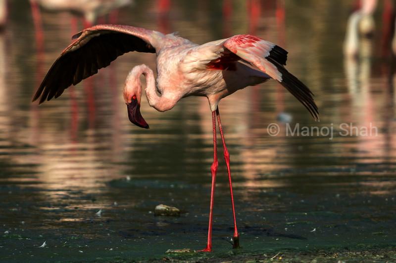 Lesser flamingo displaying its wings at Lake Bogoria, Kenya