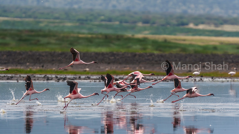 Flock of Lesser flamigos running to fly over Lake Natron, Tanzania