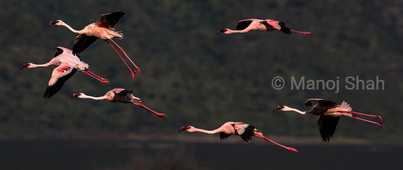 Lesser Flamingos in flight
