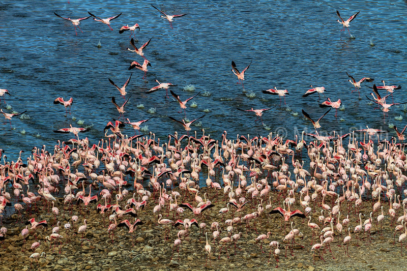 Aerial view of flamingo mass on Lake Bogoria shore.
