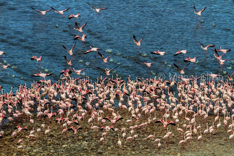 Aerial view of flamingo mass on Lake Bogoria shore.