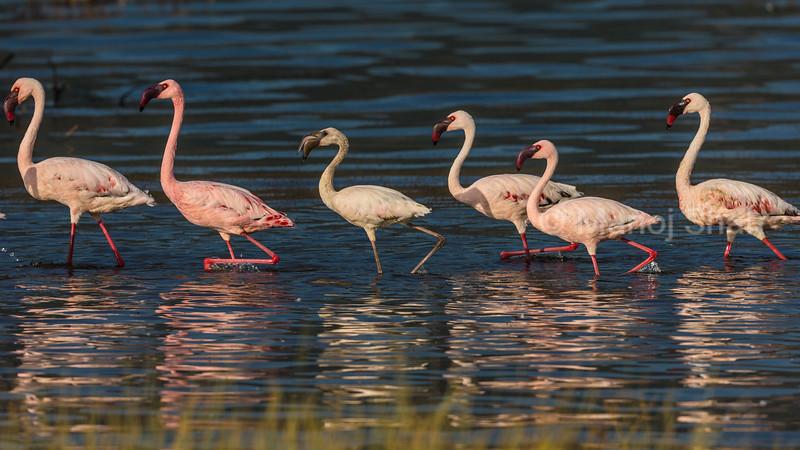Lesser flamingos - Lake Nakuru Natonal Park, Kenya