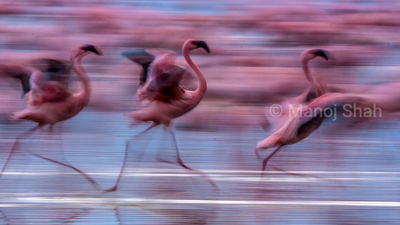 Flamingos running in Lake Nakuru waters, Kenya
