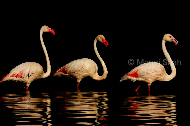 Greater Flamingos