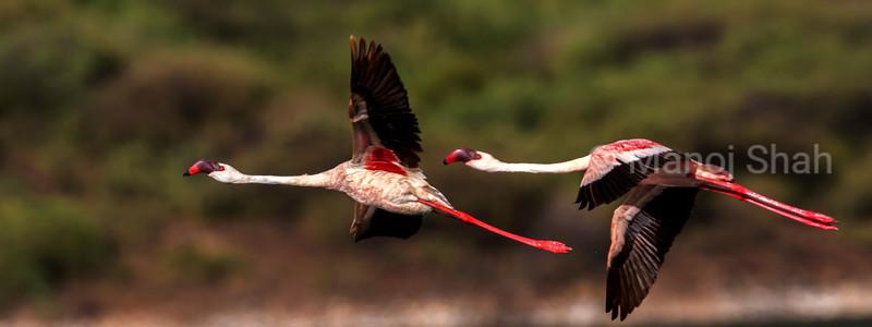 Greater flamingos in flight over Lake Bogoria, Kenya