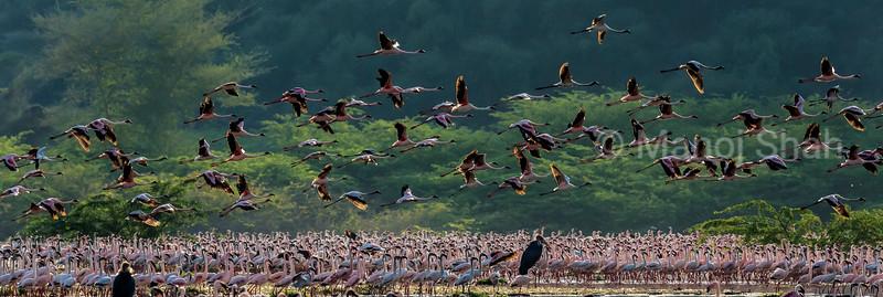 Marabu Storks looking for weaker flamingos to hunt
