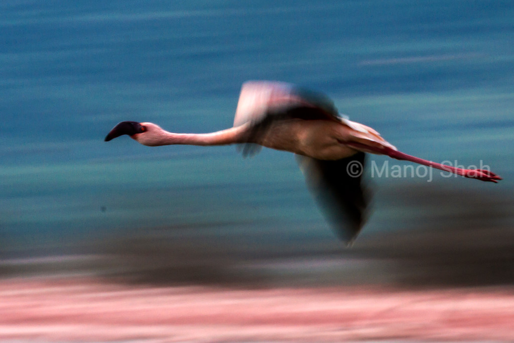 Lesser Flamingo in flight