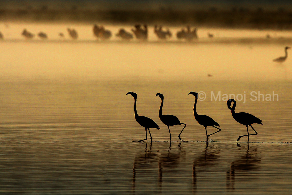 Lesser Flamingos walking at sunrise