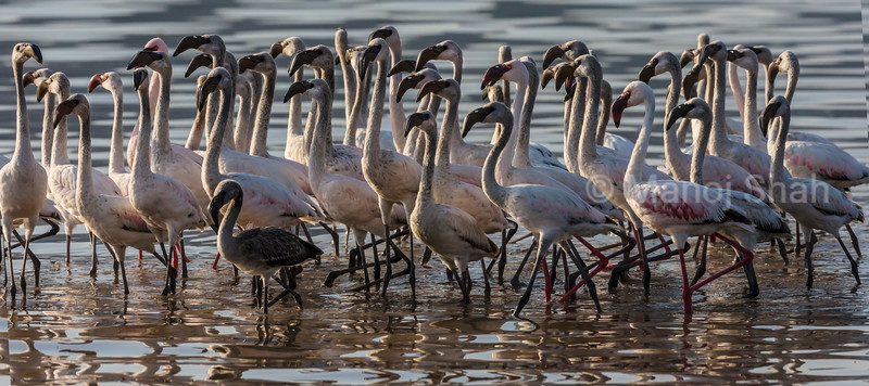 lesser flamingo youngsters