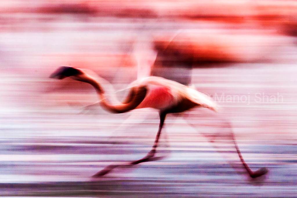 Lesser Flamingo running over Lake Nakuru shore
