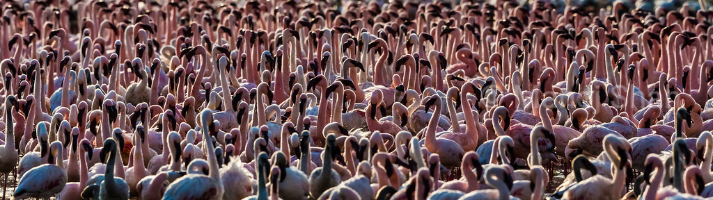 Lesser and Greater flamingos - Lake Nakuru Natonal Park, Kenya