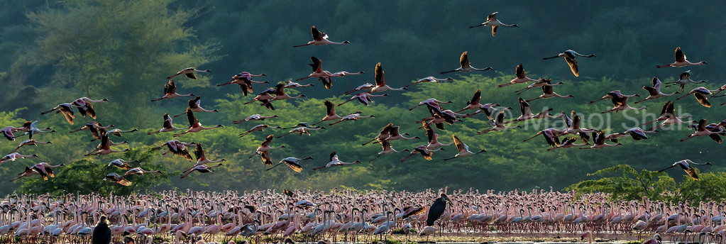 Marabu Storks looking for weaker flamingos to hunt