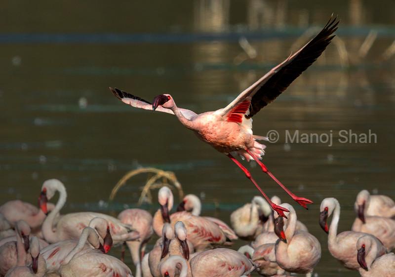 Lesser flamingo landing on lake bogoria shoreline.