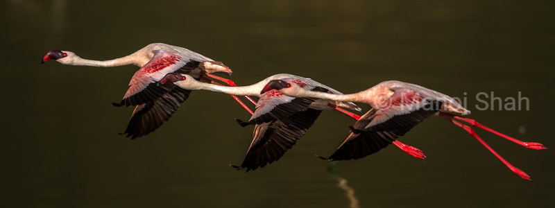 Lesser flamingos in flight at Lake Bogoria, Kenya