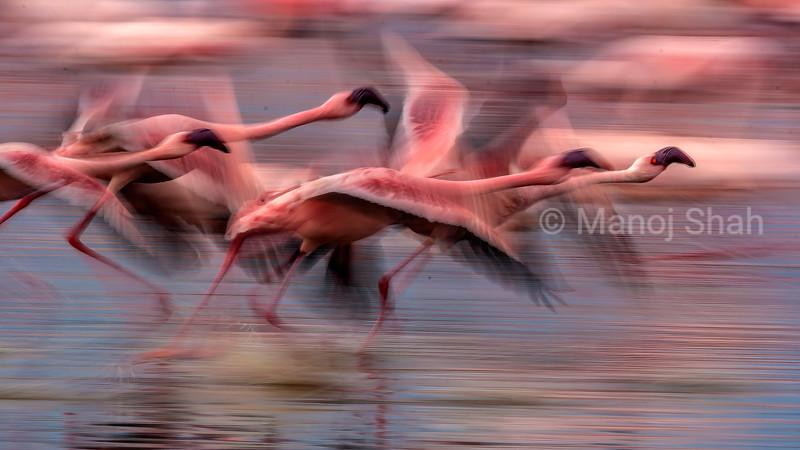 Flamingos running on alkaline water of lake Nakuru at the start of a flight.