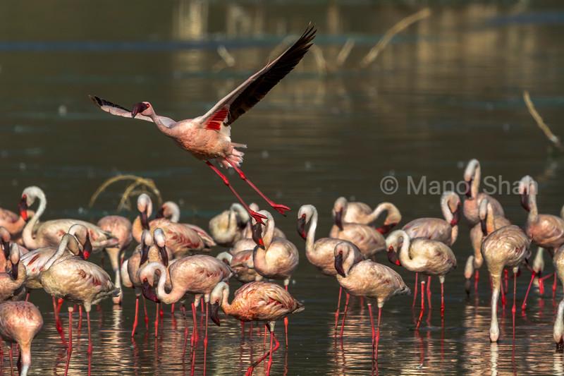 Lesser flamingo in flight at Lake Bogoria, Kenya