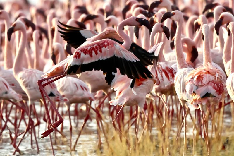 flamingo taking off